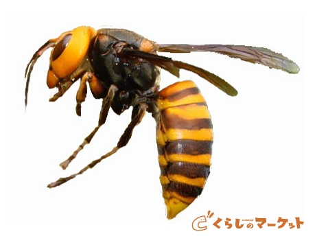 害虫・害獣駆除の株式会社想和環境エンジニアリングの写真 ハチ駆除 スズメ蜂15000円 アシナガ